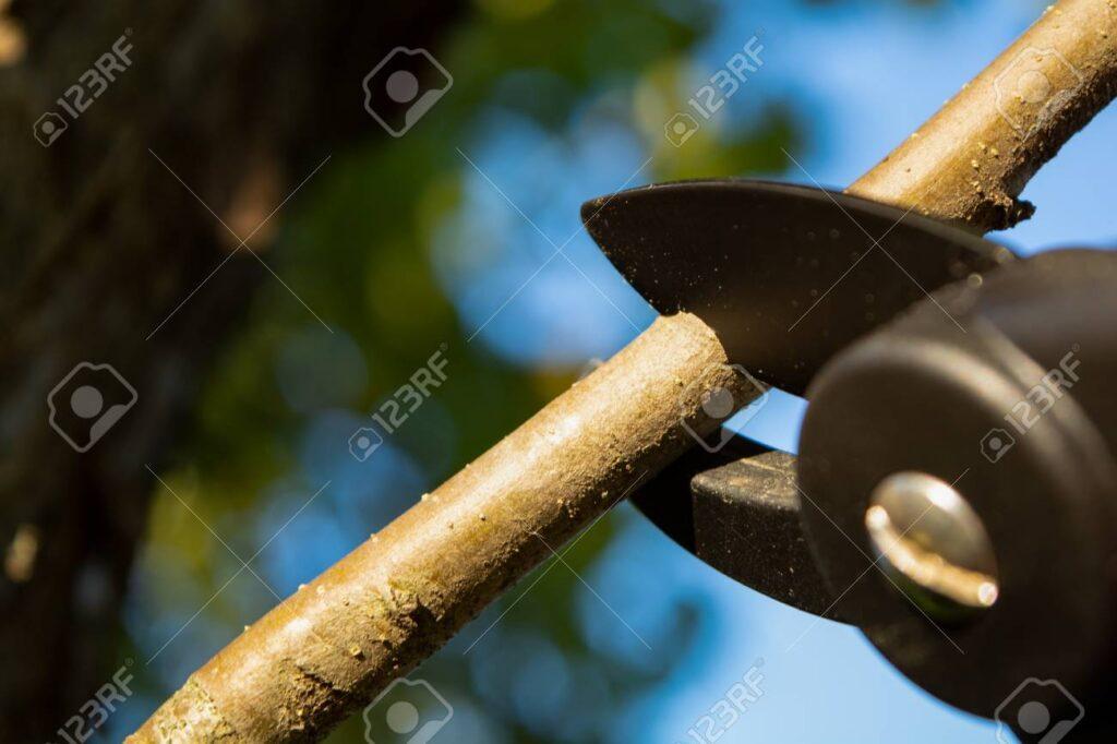 Pruning Taupo